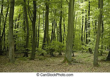francês, carvalho, e, faia, floresta, árvores