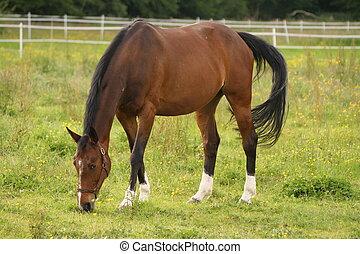 francês, cavalo