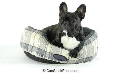 francuski buldog, cyganiąc na dół, w łóżku, na, niejaki, białe tło