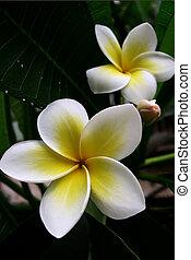 frangipane, blomster