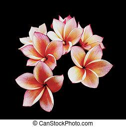 frangipani, цветы, или, славный, plumeria