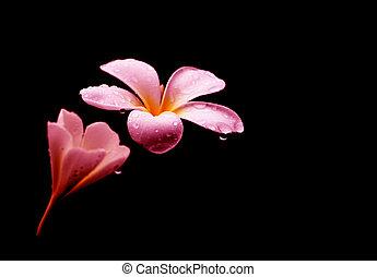 frangipani, цветы, черный, plumeria, задний план, или,...