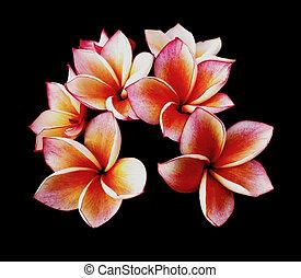 frangipani, цветы, background., черный, plumeria, или,...