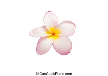 frangipani, クローズアップ, 白