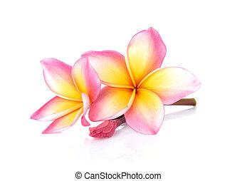 frangipani, 白い花, 背景