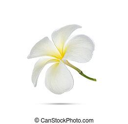 frangipani, 背景, 花, 白
