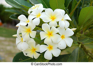 frangipani, 葉, 黄色の背景, 白い花