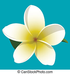 Frangipani - A vector illustration of a yellow and white...