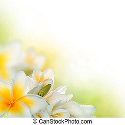 frangipani, balneario, flores, border., plumeria