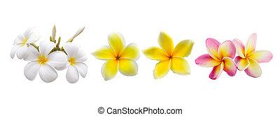 frangipani, bloem, vrijstaand, op wit, achtergrond