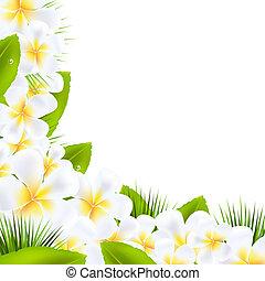 frangipani, bloemen, randjes, met, blad