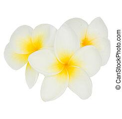 frangipani, bloemen