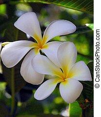 Two beautiful frangipani blooms