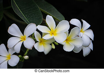 frangipani, blume, hintergrund, natur
