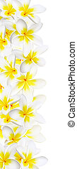 Frangipani Border - Border of white and gold frangipani or...