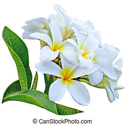 Branch of frangipani flower isolated on white background
