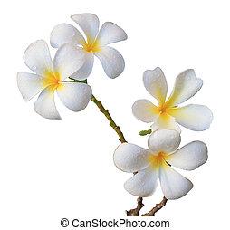frangipani, fiore bianco, isolato