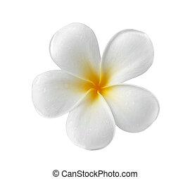 frangipani, fiore bianco, isolato, fondo