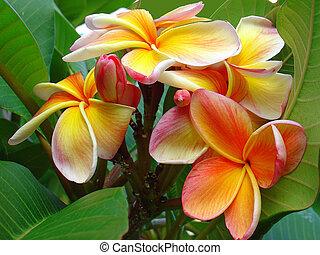 frangipani, fiori