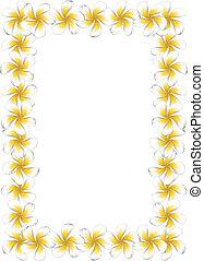 frangipani, fiori bianchi, cornice