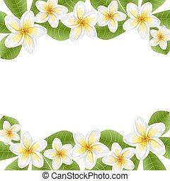 frangipani, fiori, (plumeria)