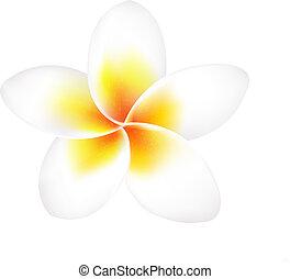 frangipani, flor, aislado