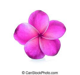 frangipani, flor blanca, aislado, plano de fondo
