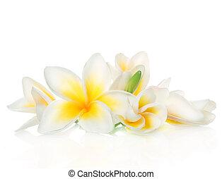 frangipani, flores, balneario