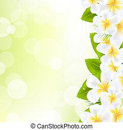 frangipani, flores, com, folha