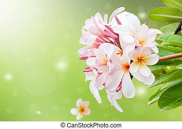 Frangipani Flower Background