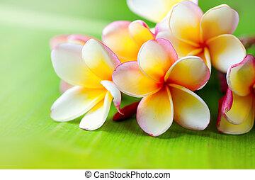 Frangipani flower closeup. Exotic plumeria spa flowers on green leaf tropical background