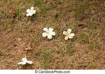 Frangipani flower fall to the ground.