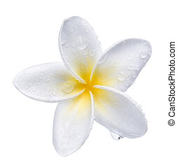 Frangipani plumeria Spa Flower isolated on white