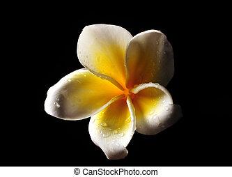 Frangipani flower isolated on black