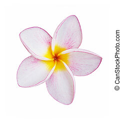 frangipani flower isolated on white with clipping path