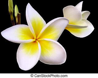 Frangipani Flower - Tropical frangipani flower on black...