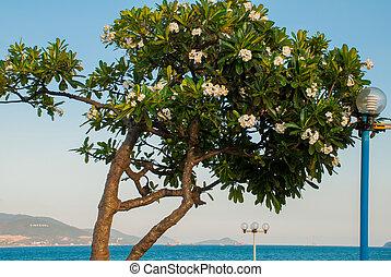 Frangipani flower. Plumeria.