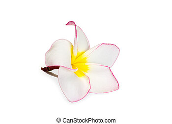 Frangipani flower on white background