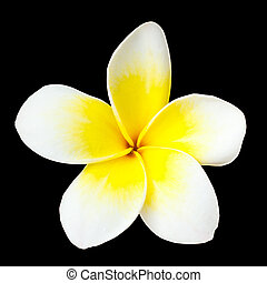 Frangipani flower on black background