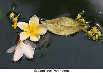 frangipani flowers in water