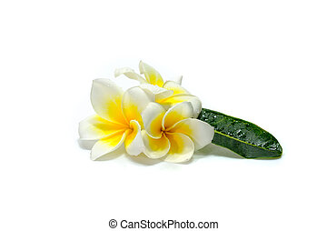 Frangipani flowers in white background