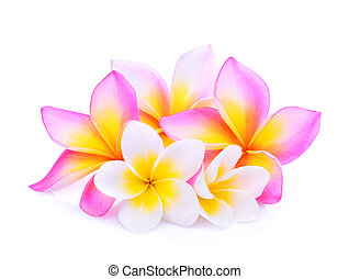 frangipani flowers isolated on white background