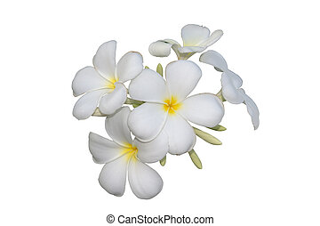 Frangipani flowers isolated with clipping path