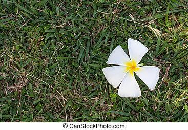 Frangipani flowers on green grass.