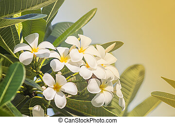 frangipani flowers with blue background