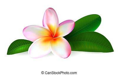 frangipani, foglie, verde, plumeria, flower.