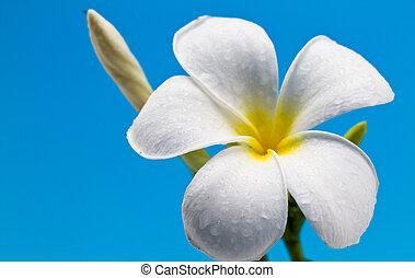 frangipani isolated II