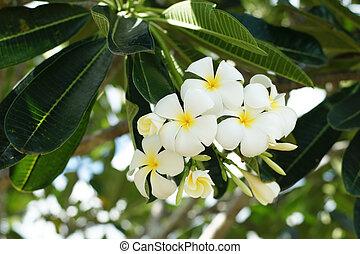 frangipani, kwiaty, biały, plumeria, tropikalny, zdrój, kwiat
