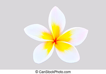 Frangipani on gray background isolated