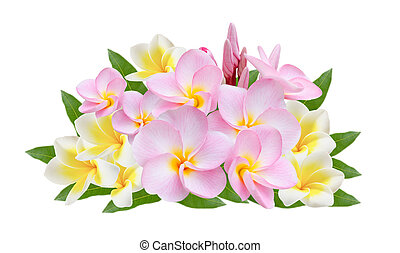 Frangipani on white background - pink and white Frangipani,...